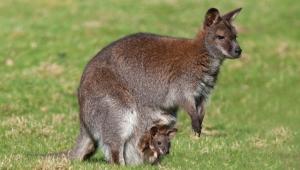 Kangaroo Free HD Wallpapers