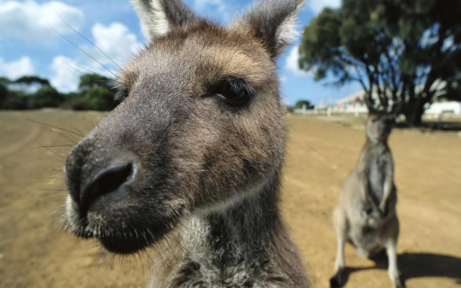 Kangaroo HD Background