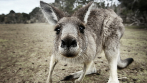 Kangaroo HD Wallpaper