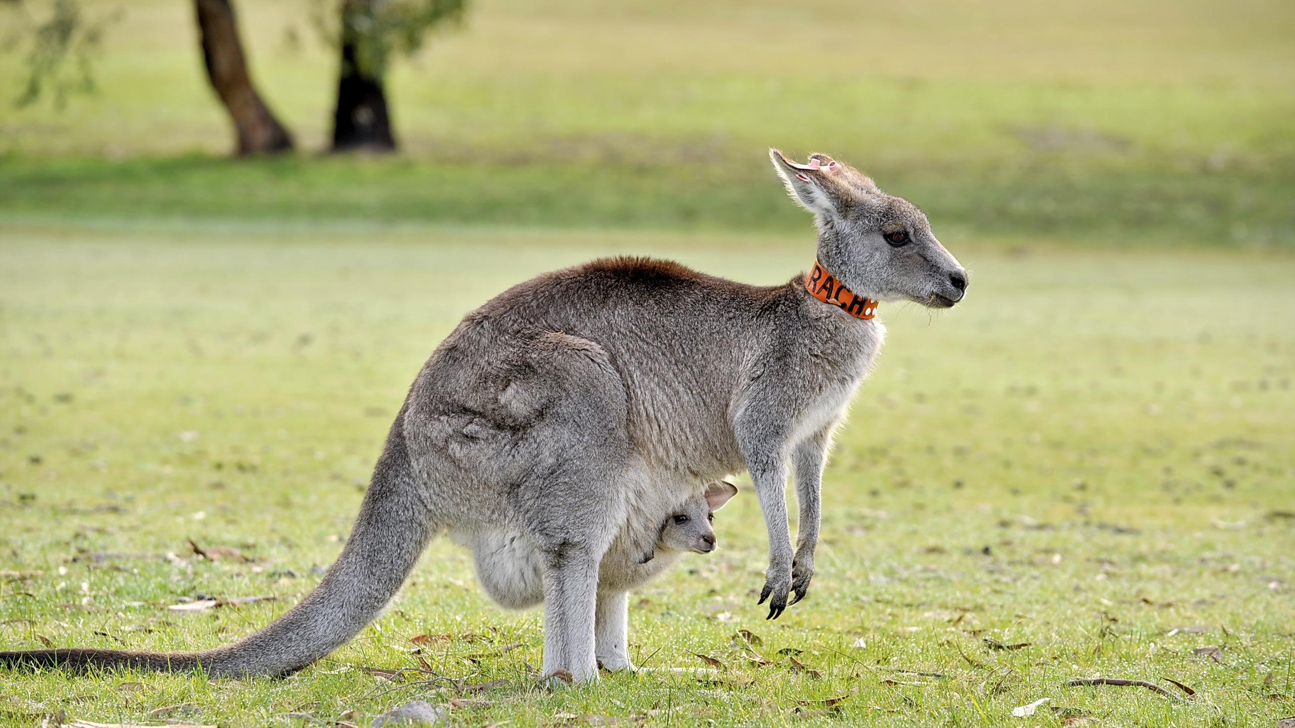 Kangaroo High Definition Wallpapers