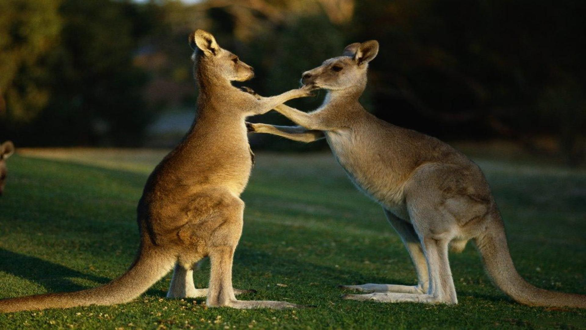 Kangaroo High Quality Wallpapers