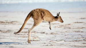 Kangaroo Wallpapers HQ
