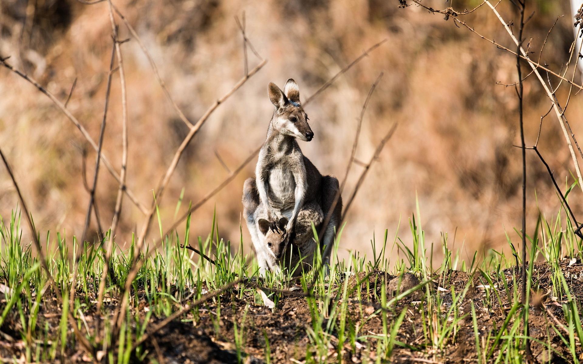 Kangaroo Widescreen