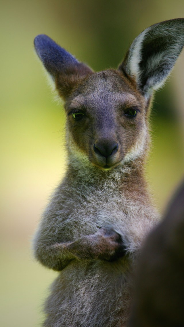 Kangaroo For Smartphone
