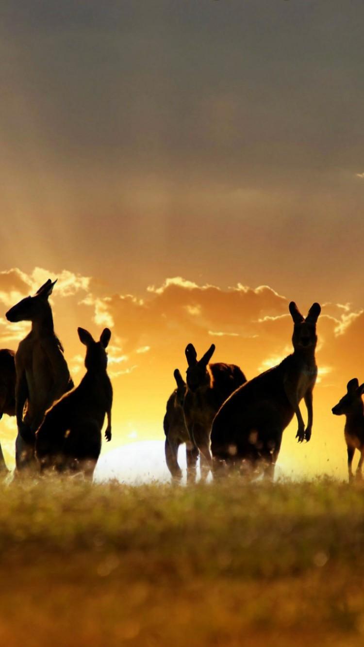 Kangaroo Iphone HD Wallpaper