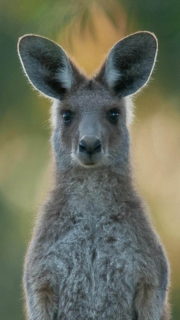Kangaroo Iphone Images
