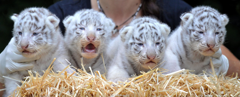 Newborn White Bengal Tiger Cubs