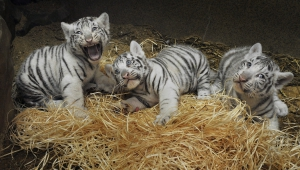 Newborn White Tiger