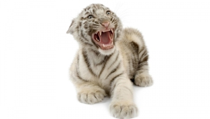 Newborn White Tiger Cubs Images