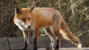 Pictures Of Fox