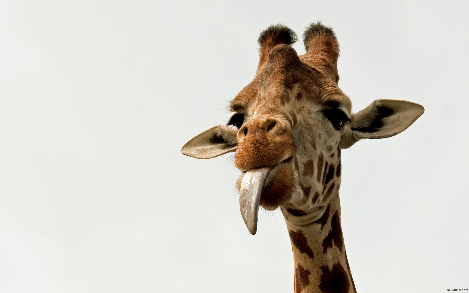 Pictures Of Giraffe