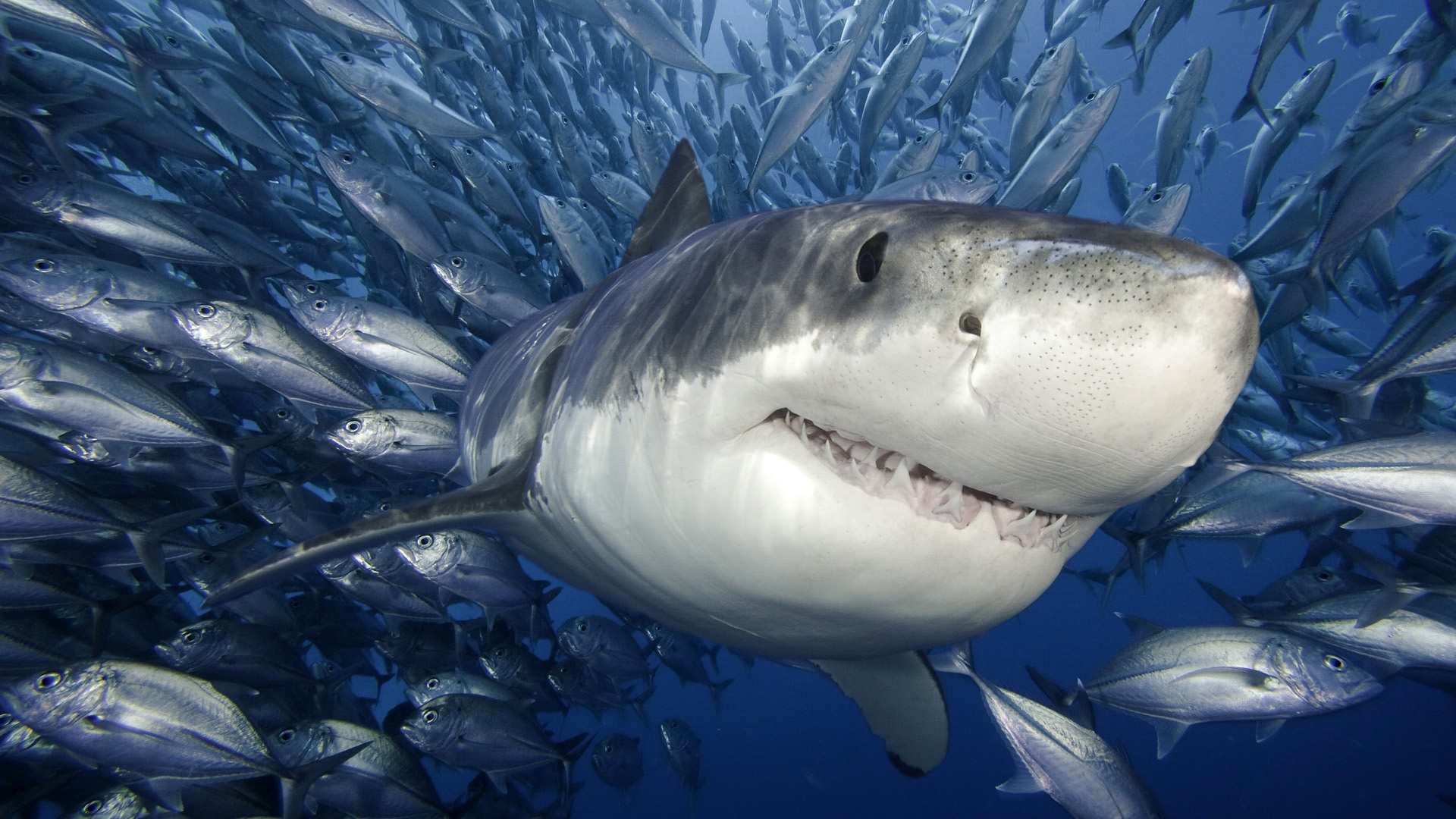 Pictures Of Shark