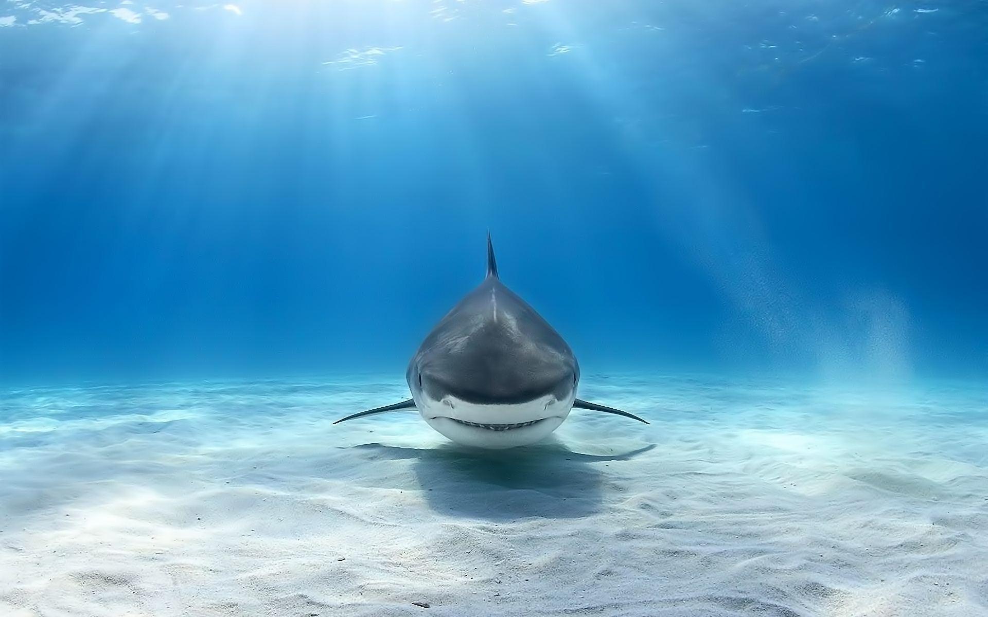 Shark Computer Backgrounds