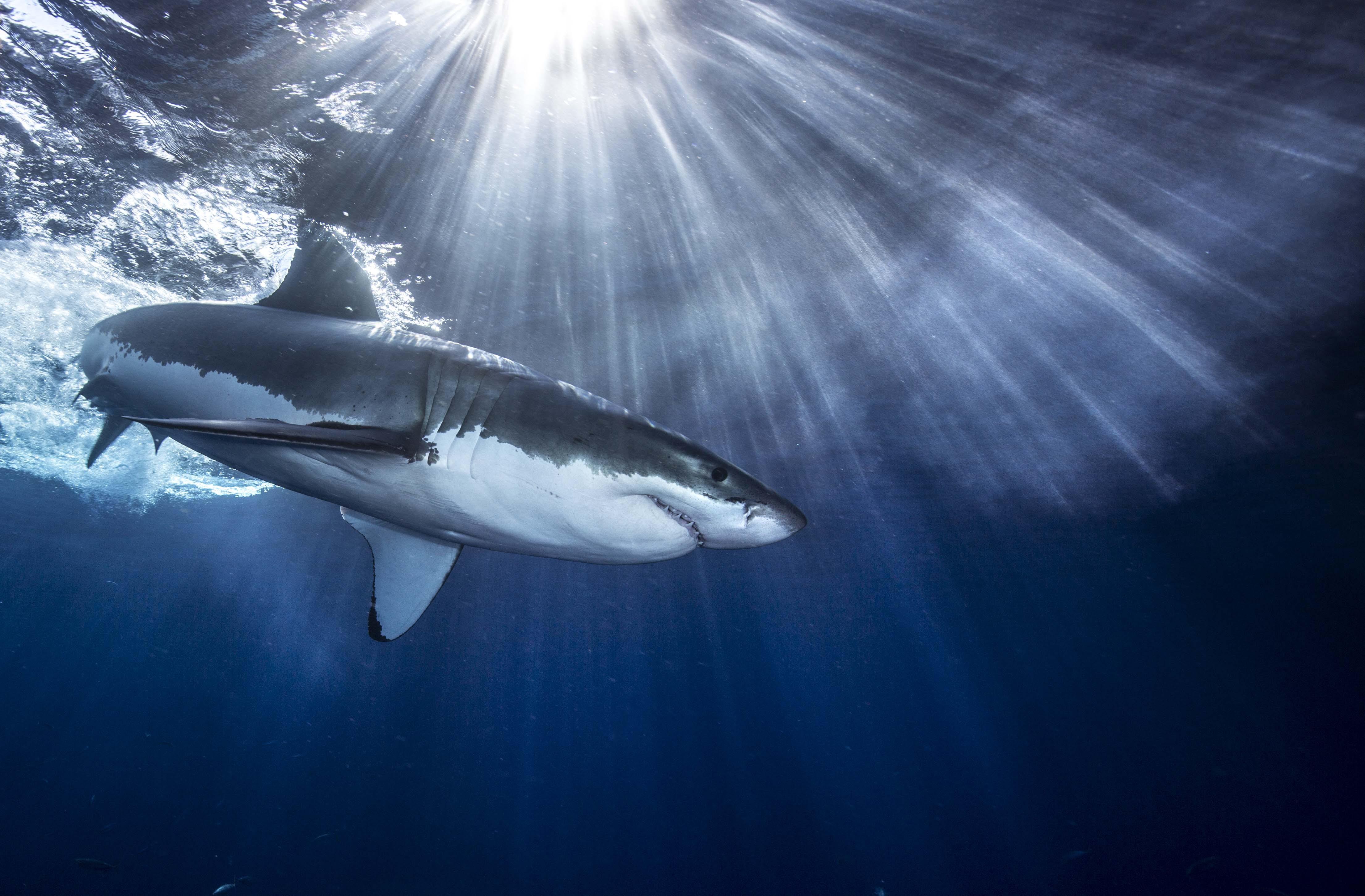 Shark Download Free Backgrounds HD