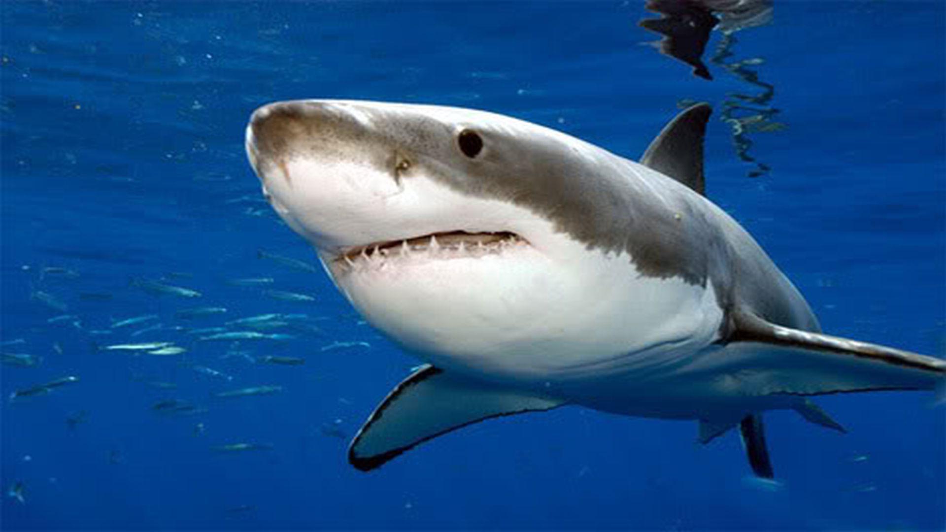 Shark HD Background