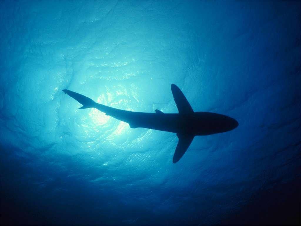 Shark HD Desktop