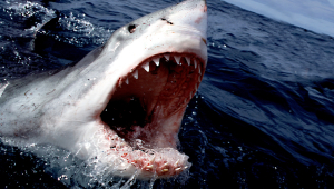 Shark High Definition Wallpapers