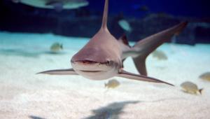 Shark Wallpapers HD