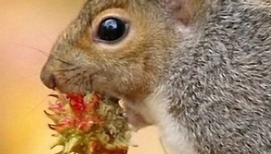 Squirrel Desktop For Iphone