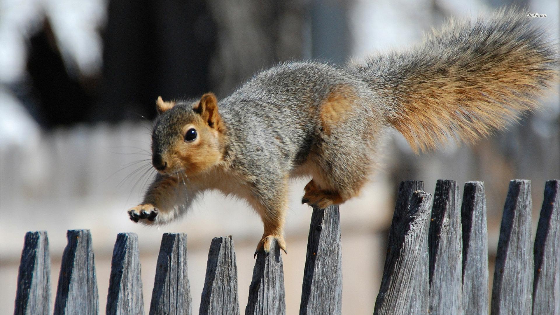 Squirrel HD Background
