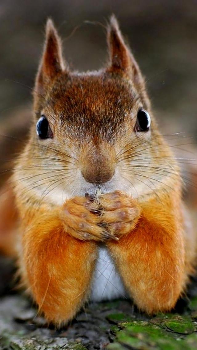 Squirrel HD Iphone