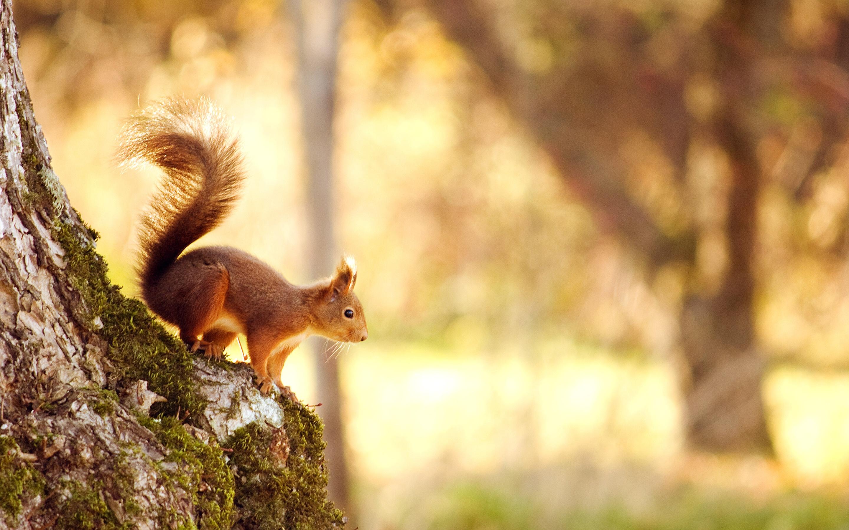 Squirrel HD
