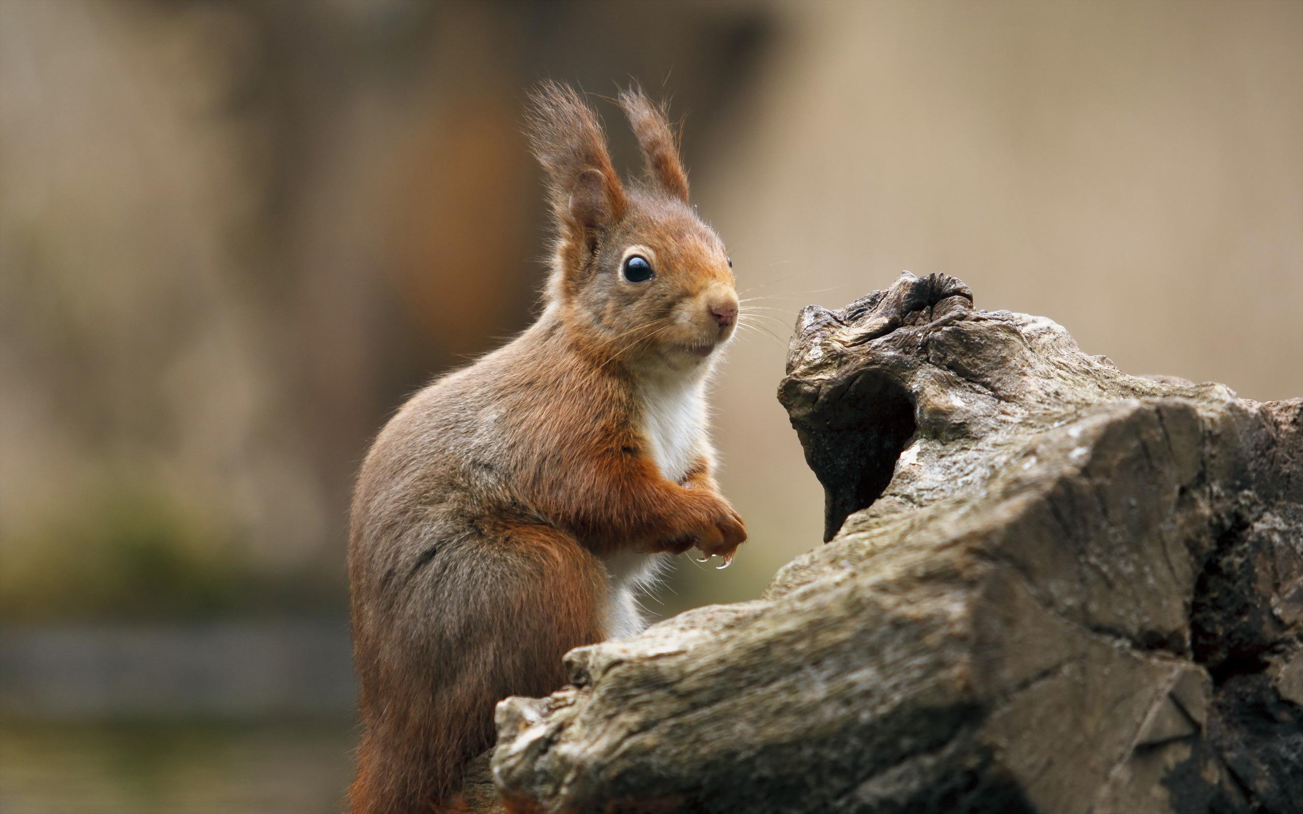 Squirrel Widescreen
