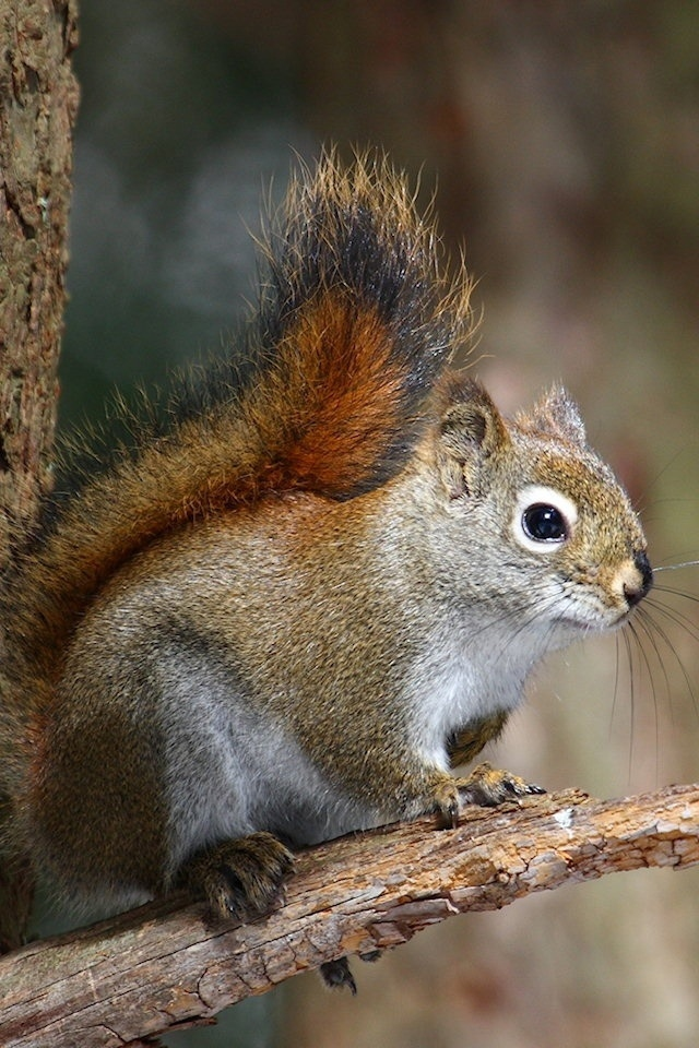 Squirrel Iphone Wallpapers