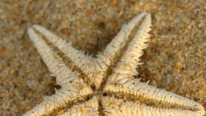 Starfish Desktop For Iphone