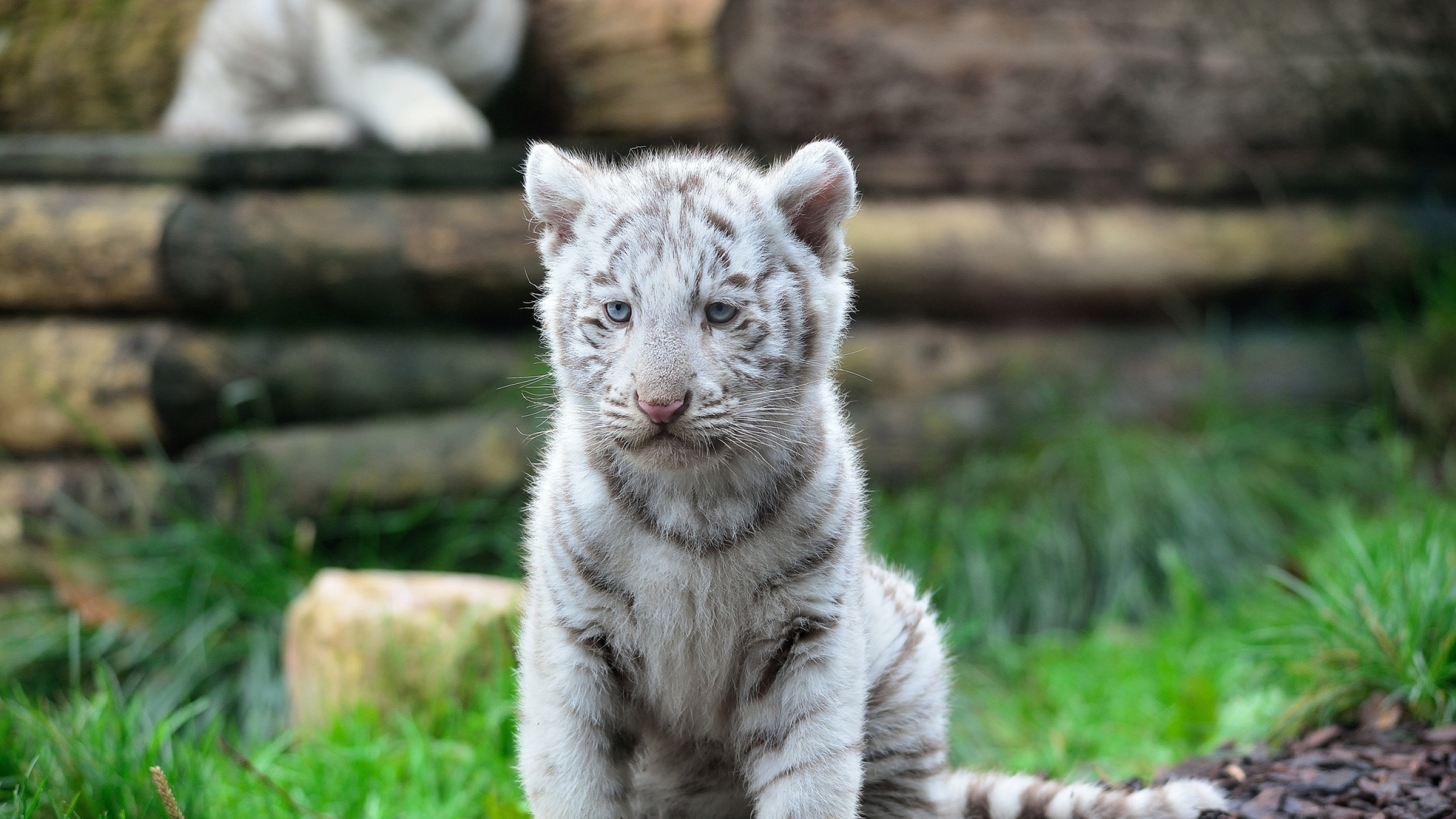 Two Month Old White Tiger Cubs