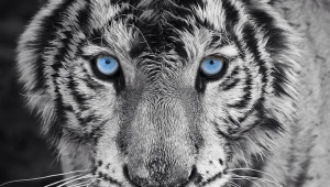 White Tiger Android Wallpapers