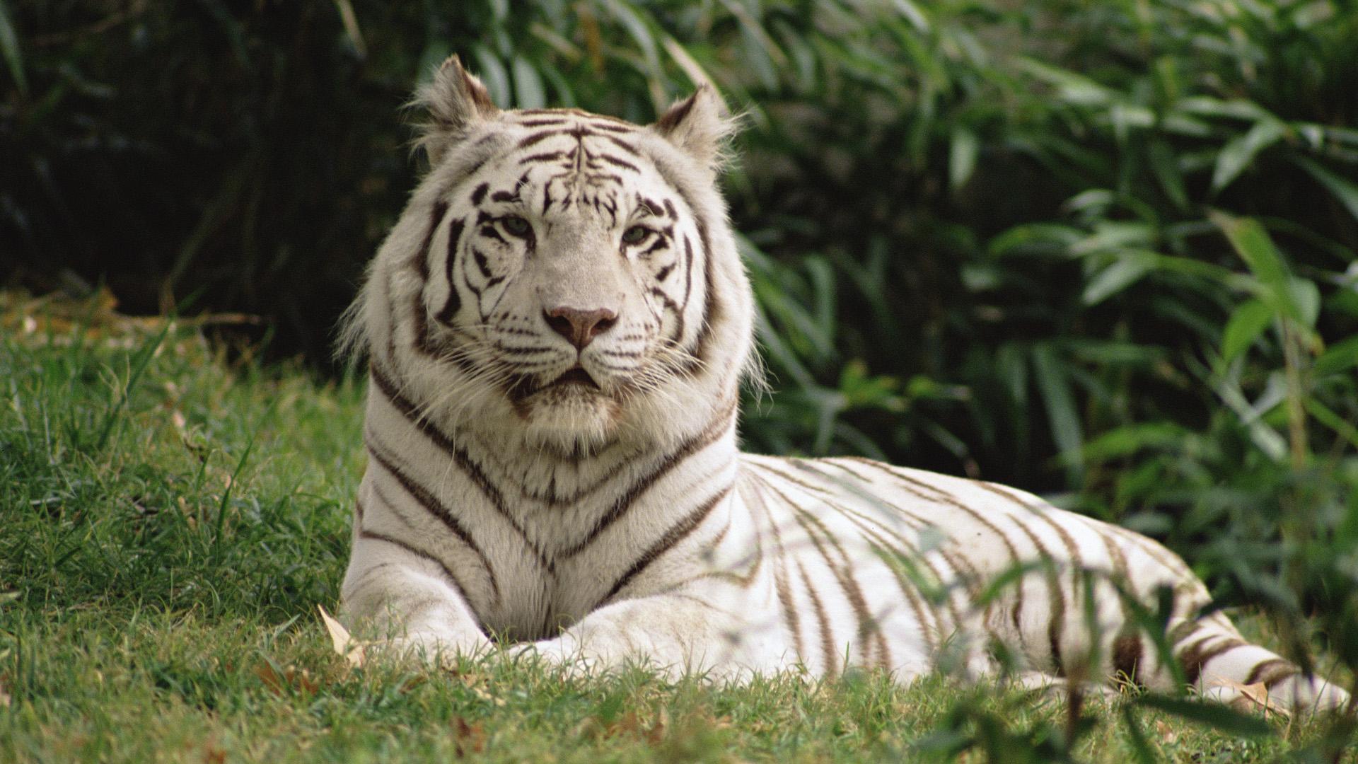 White Tiger Computer Wallpaper