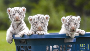 White Tiger Cubs Playing