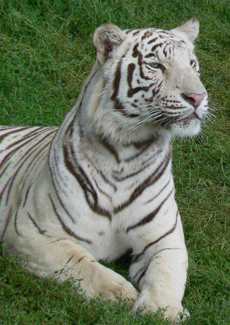 White Tiger Desktop For Iphone