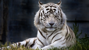 White Tiger Download Free Backgrounds HD