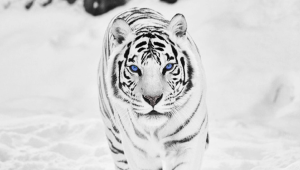 White Tiger Free Download