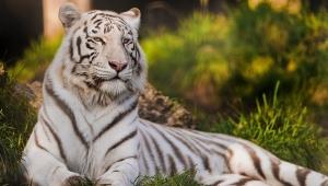 White Tiger HD Desktop