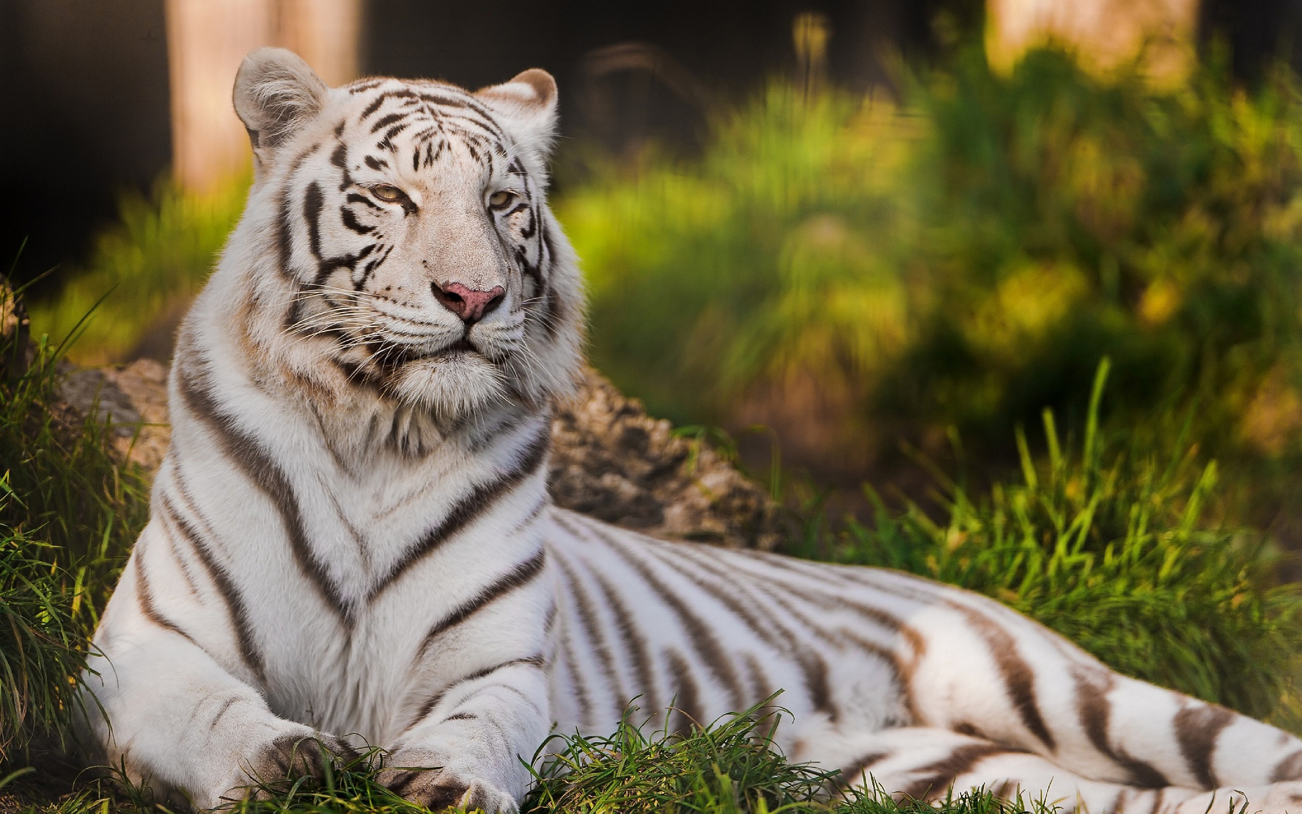 White Tiger HD Desktop
