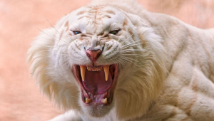 White Tiger High Definition Wallpapers