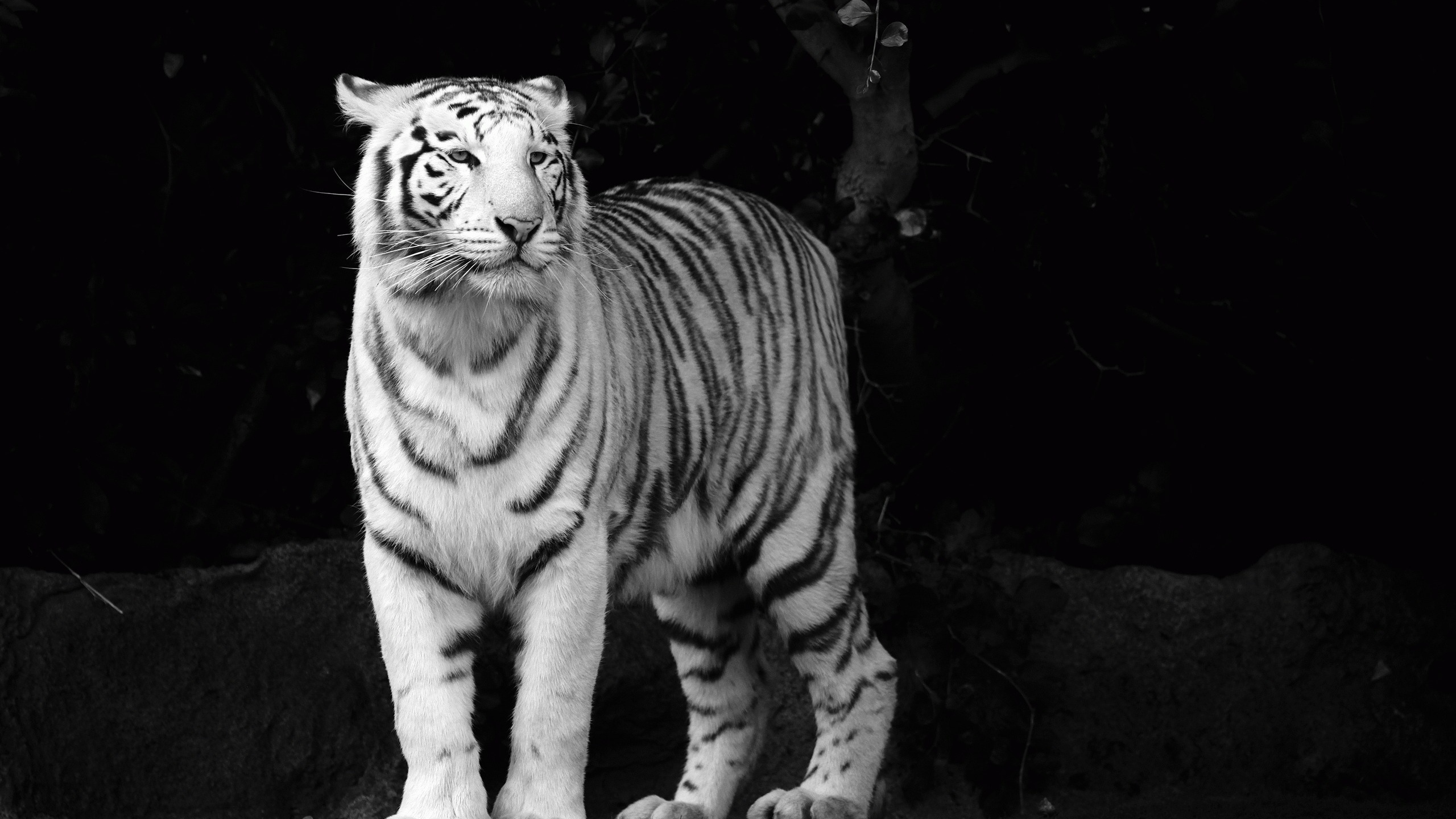 White Tiger High Definition