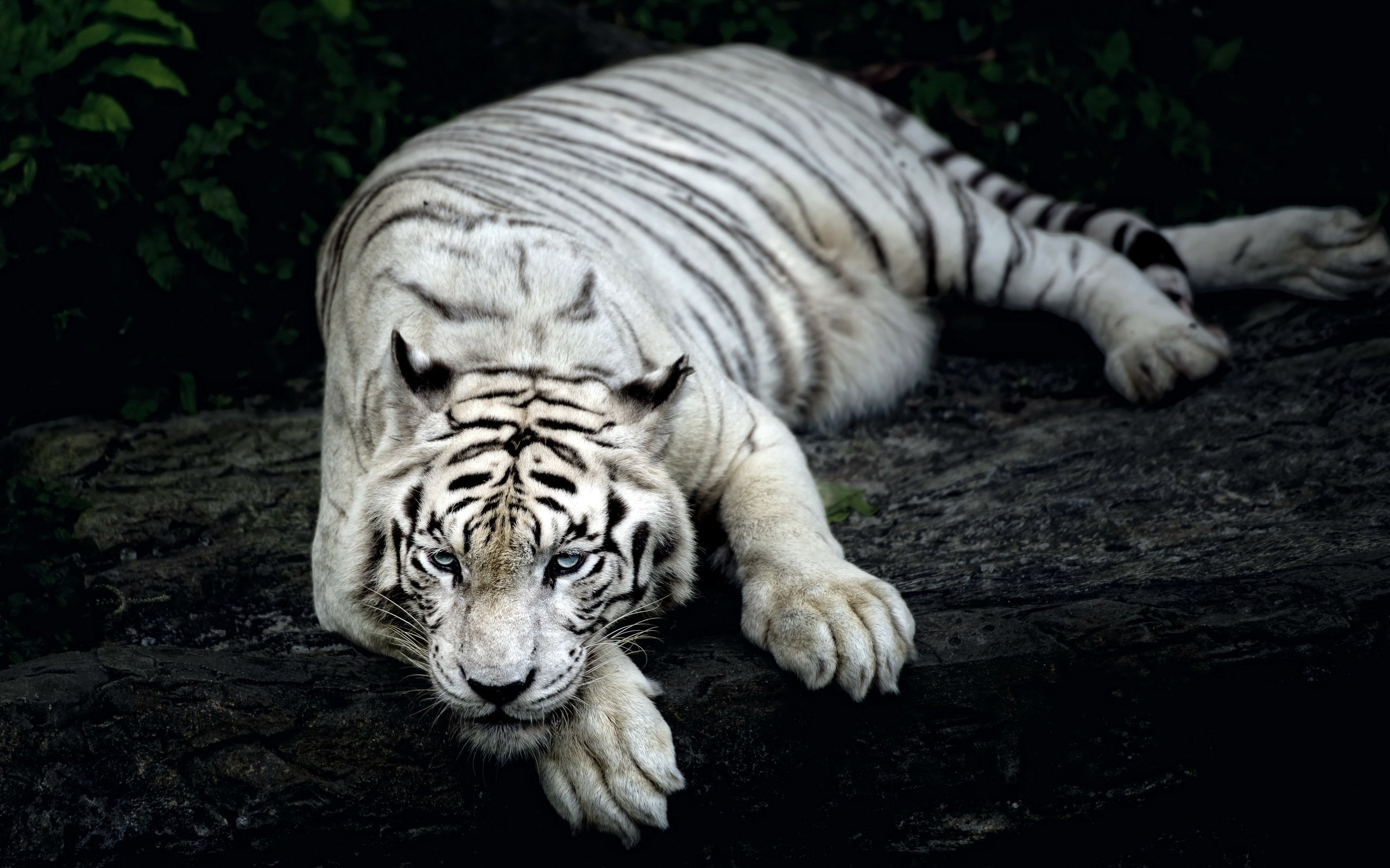 White Tiger High Quality Wallpapers