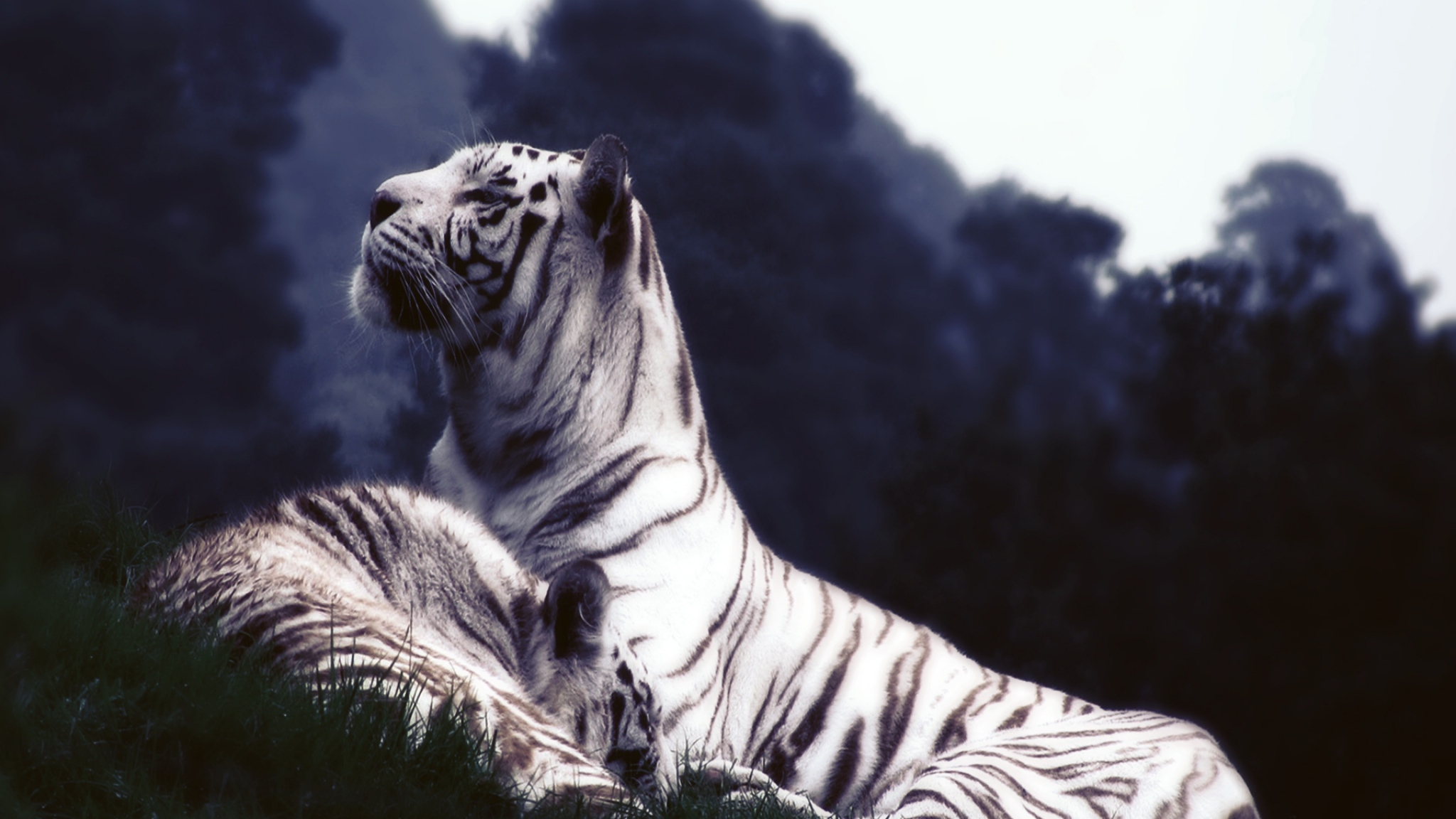 White Tiger Images
