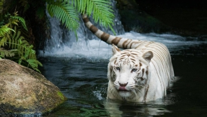 White Tiger Pics