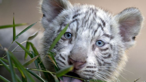 White Tiger Wallpaper Cubs Face