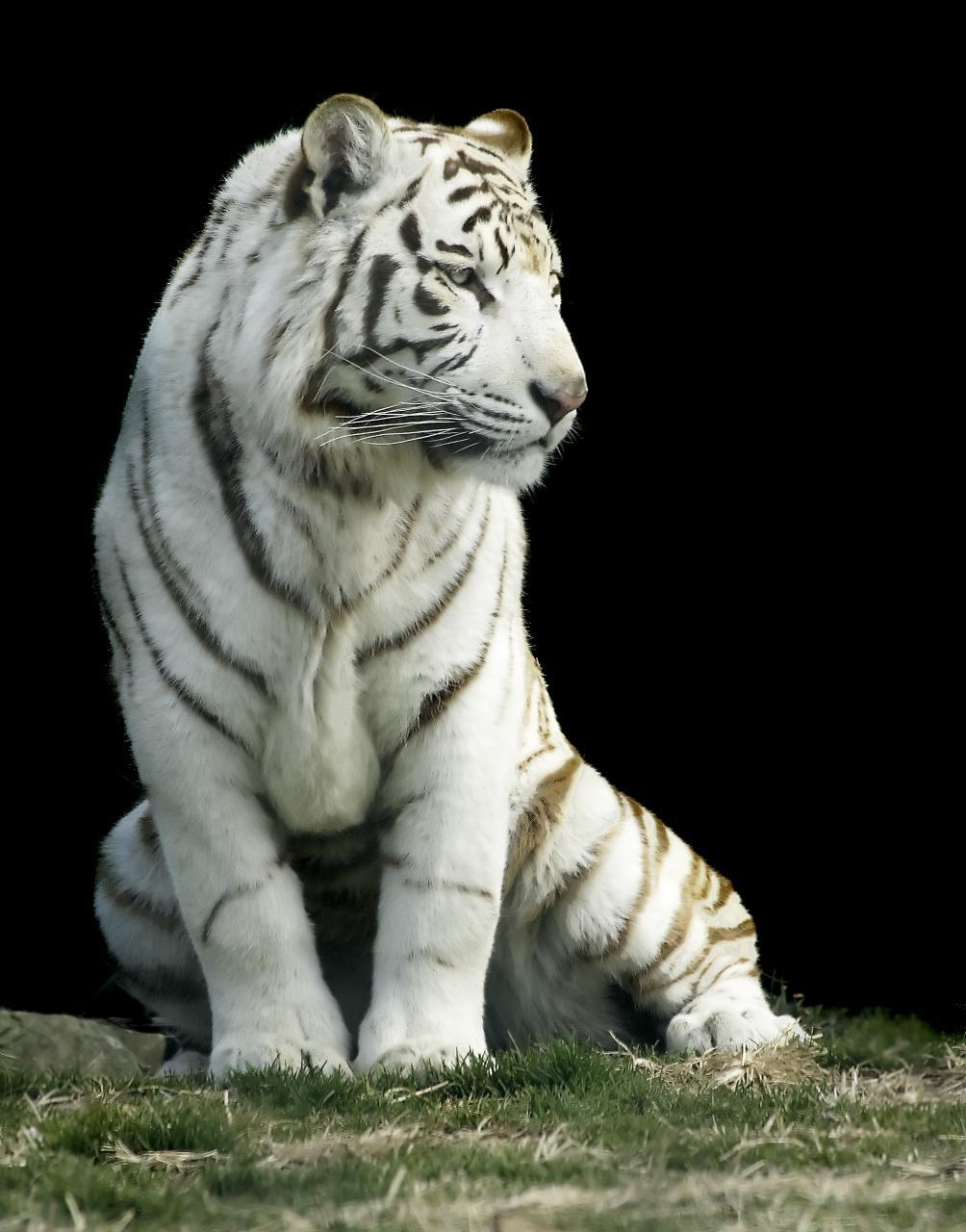 White Tiger Iphone Background