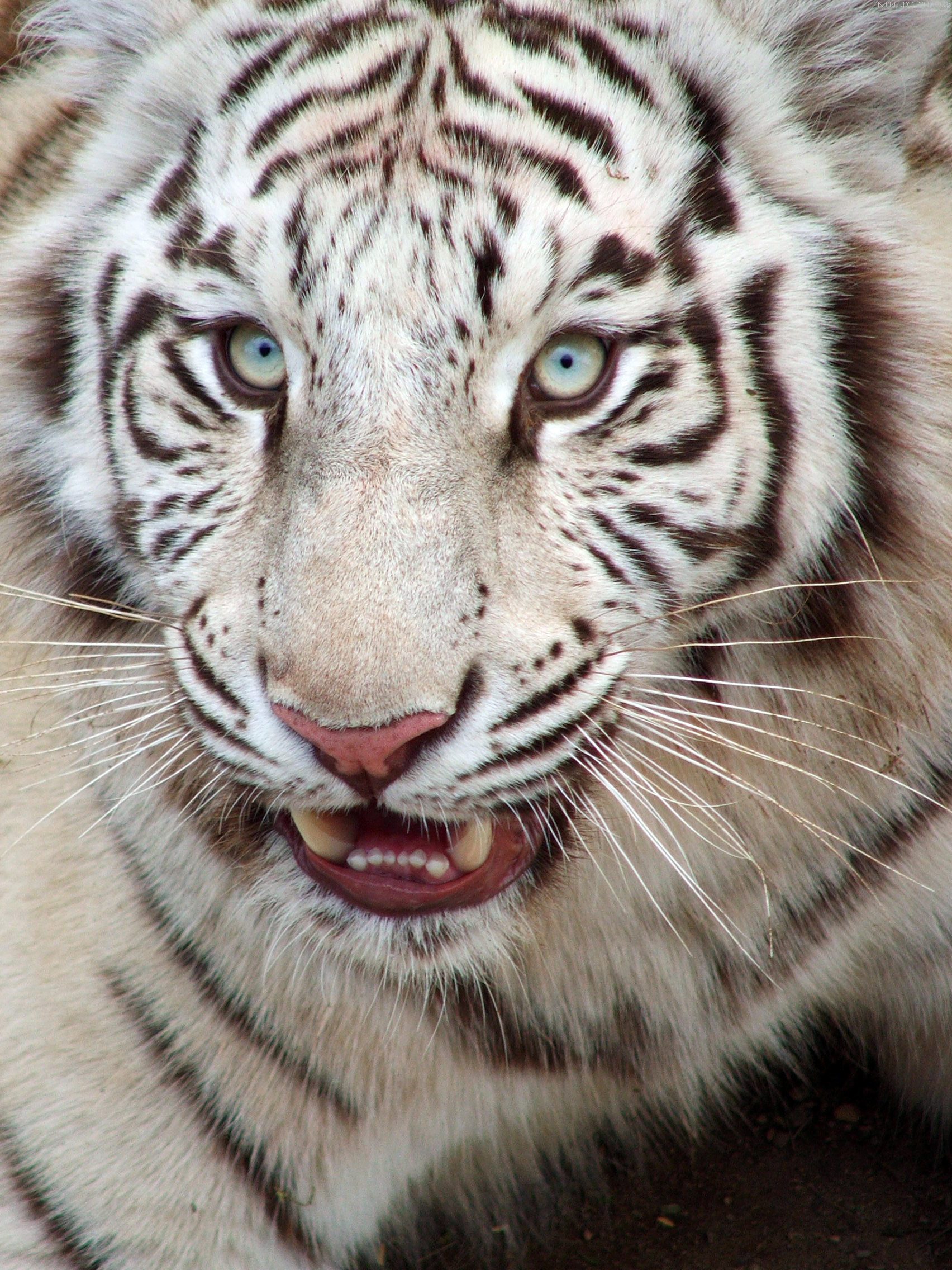 White Tiger Iphone Wallpapers