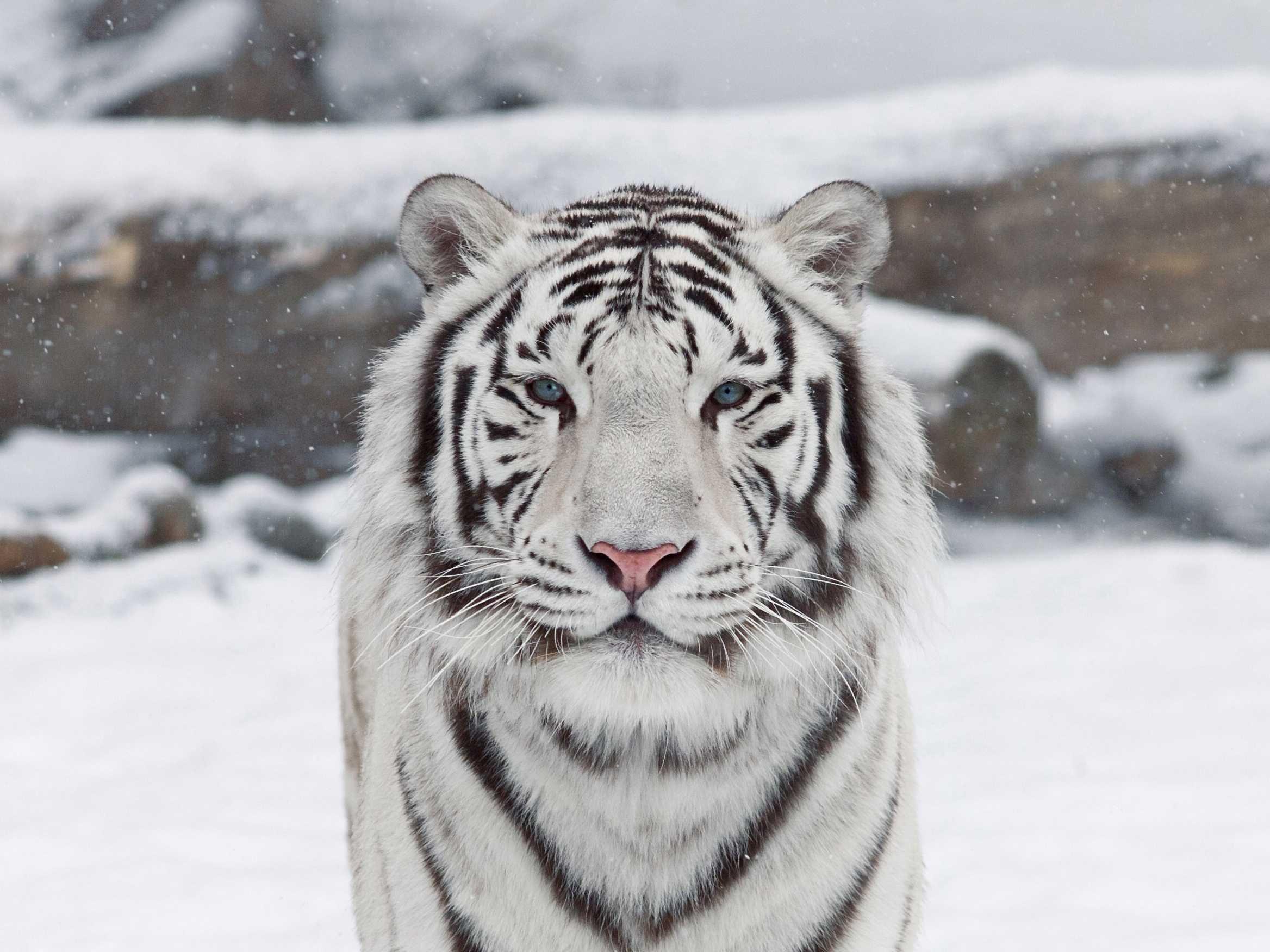White Tiger Wallpaper For Windows