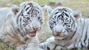 White Tiger Cubs Wallpaper