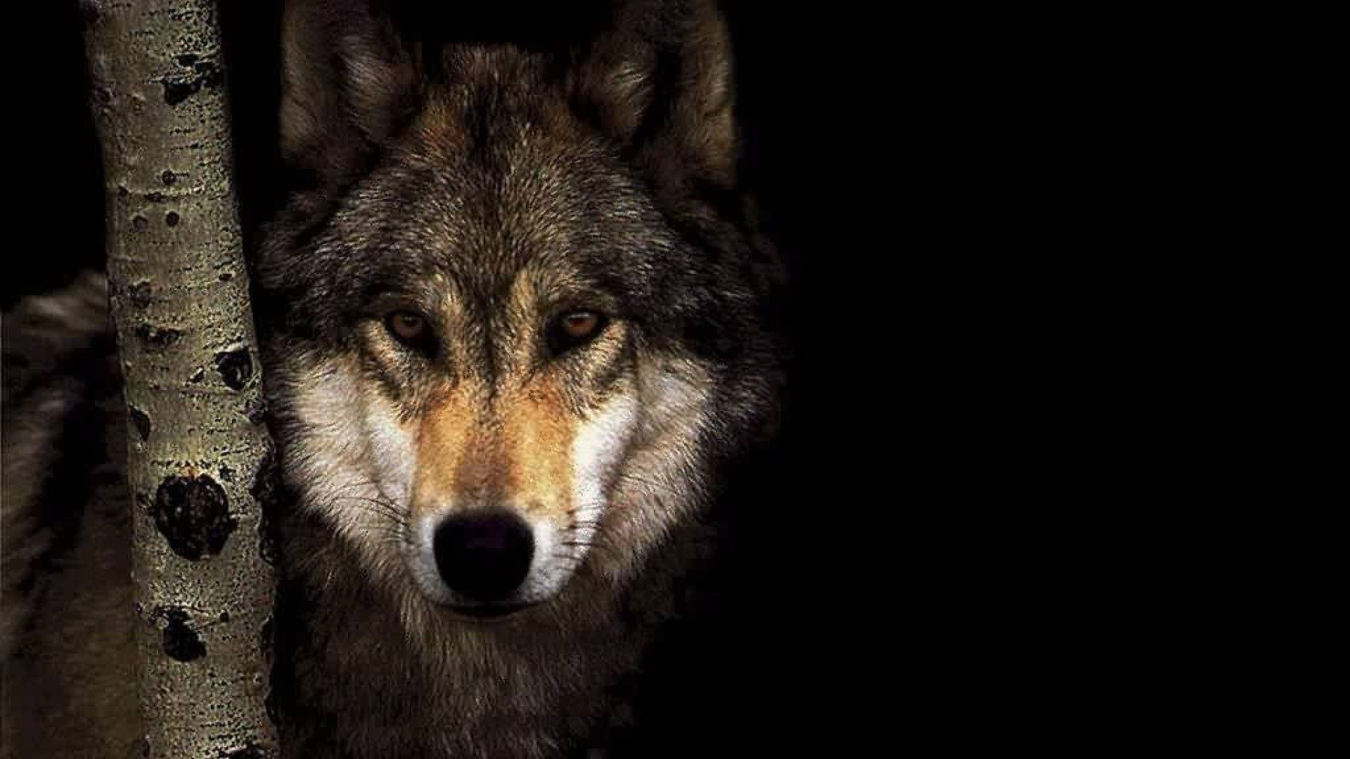 Wolf High Quality Wallpapers