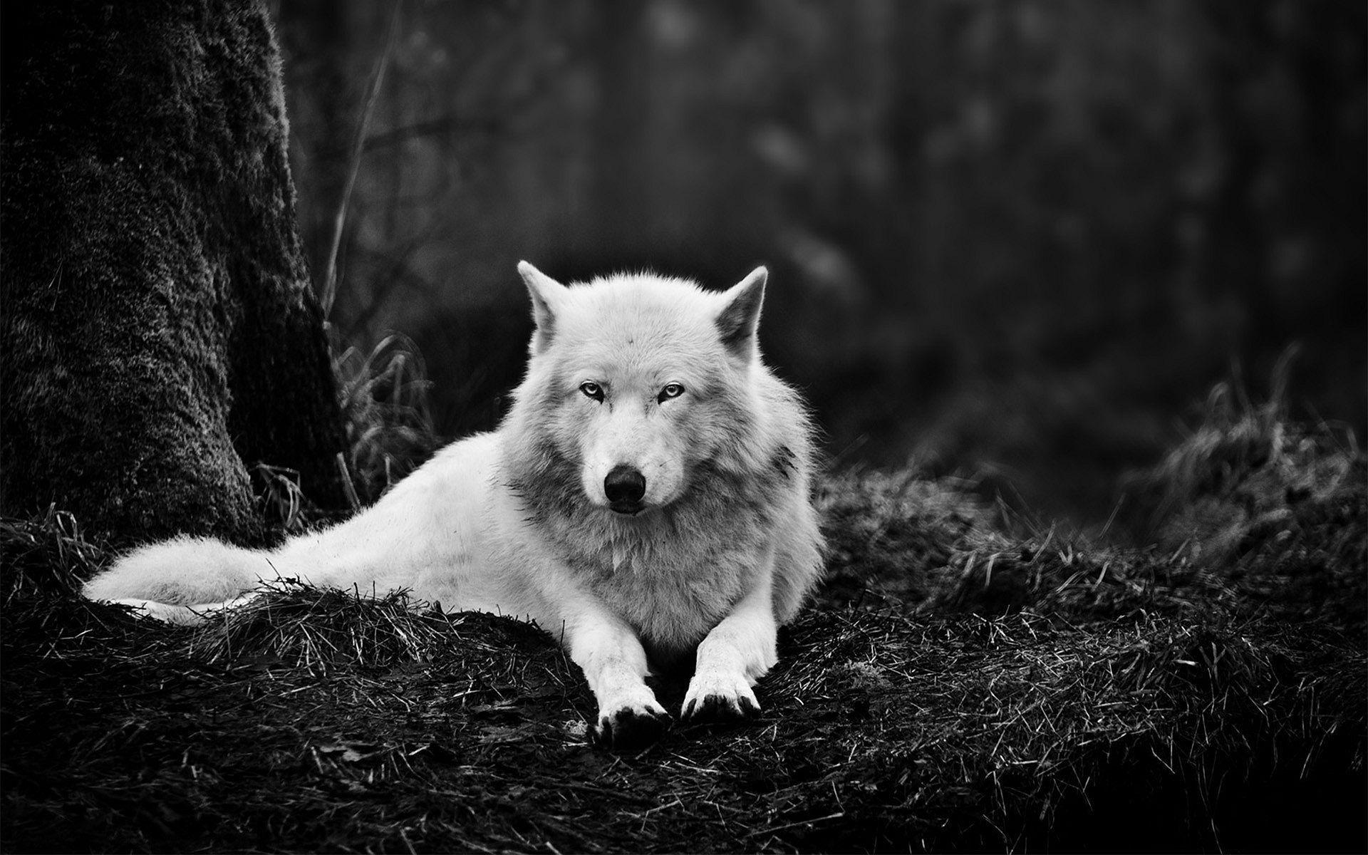 Wolf Desktop Background